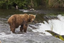 Lone Brown Bear Male At Falls — Stock Photo