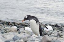 Gentoo пінгвіна на камені — стокове фото