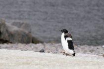 Adelie penguin on stone — Stock Photo