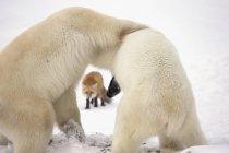 Eisbären ringen — Stockfoto