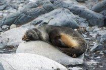 Pellicce antartiche — Foto stock