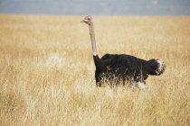 Pie del avestruz en pasto - foto de stock