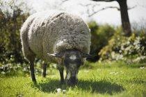 Овец пасется на траве — стоковое фото
