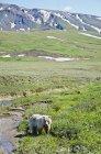 Grizzly marchant le long de la toundra — Photo de stock