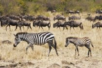 Zebras and wildebeest in the grass — Stock Photo