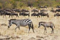 Zebras und Gnus in der Wiese — Stockfoto