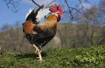 Rooster walking on grass — Stock Photo