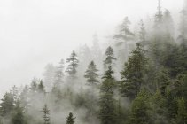 Trees in forest shrouded in cloud — Stock Photo
