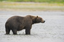 Brown bear standing in mikfik creek — Stock Photo