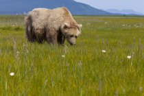 Brown Bear Grazing On Sedges — Stock Photo