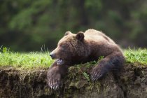 Grizzly bear outdoors — Stock Photo