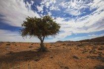 Дерева акації в пустелі — стокове фото