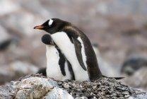 Pinguini di Gentoo vicino a vicenda — Foto stock