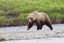 Adult Brown Bear Walks — Stock Photo