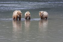 Sow And Two Grizzly Bears — Stock Photo