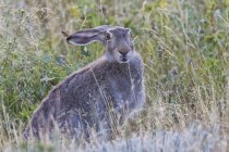 Jackrabbit, сидя в траве — стоковое фото