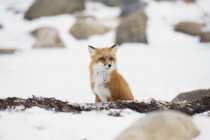 Red fox sentado na neve — Fotografia de Stock