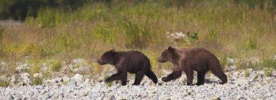 Два бурых медведей, ходить вместе — стоковое фото