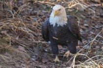 Aquila calva a piedi — Foto stock