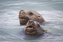 Dos lobos nadar en Allison punto cerca de Valdez, Alaska Southcentral, verano - foto de stock