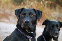 Zwei schwarze Hunde — Stockfoto