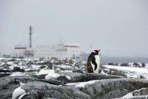 Gentoo pingouin debout sur le rocher — Photo de stock
