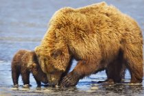 Brown bear sow and cub clamming at lake — Stock Photo