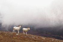 Dall sheep rams — Stock Photo
