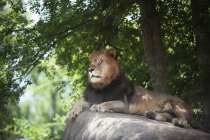 Lion repose sur la roche — Photo de stock