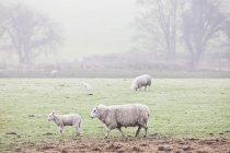 Schafe weiden im nebligen Feld — Stockfoto
