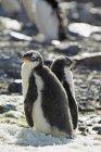 Gentoo penguins on stones — Stock Photo