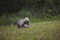 Mamma Grizzly — Foto stock