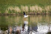 Pelikan auf der Flucht — Stockfoto