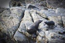 Sigilli seduti sulla roccia — Foto stock