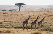 Tre giraffe in piedi nella riga — Foto stock