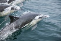 Wild Dolphins  swimming on water — Stock Photo