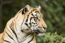 Siberian Tiger looking away — Stock Photo