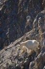 Chèvres de montagne sur le rebord de Rock — Photo de stock