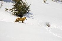 Fox sobre a neve cobriu Hill — Fotografia de Stock