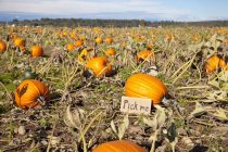 Pumpkin Patch Says Pick Me — Stock Photo