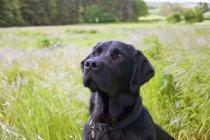 Preto Labrador Retriever na grama longa — Fotografia de Stock