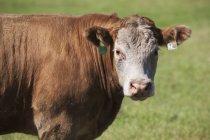 Gros plan d'une vache dans le champ — Photo de stock