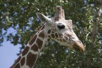 Профиль головы жирафа — стоковое фото