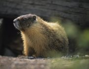 Marmotte de l'or en forêt — Photo de stock