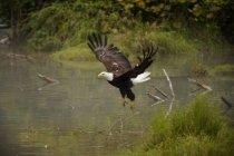 Aterrizaje águila en el agua - foto de stock