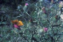 Papillon, assis sur des chardons — Photo de stock