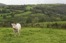 Solitaire vache se trouve dans le champ — Photo de stock