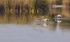 Flamingos schwimmen im Wasser — Stockfoto