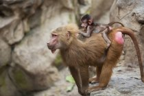 Mother Baboon With Her Baby — Stock Photo