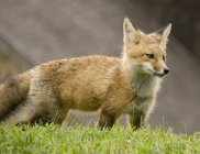Red Fox In Grass — Stock Photo
